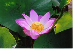 bali - lotus flower